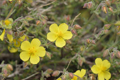 Thyme-leaved Rock-rose Stock Image