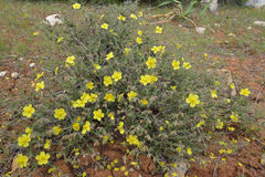 Thyme-leaved Rock-rose Stock Photography