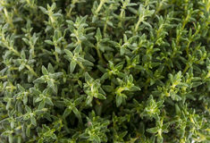 Thyme leaves Royalty Free Stock Image