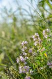 Thyme. Medicinal herb. Floral, pink. Herbs - Close up of a Thyme plant with flowers. Thymus Vulgaris L. Medicinal herb. Thyme blooming in the meadow stock photography