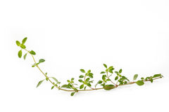 Thyme op witte achtergrond Royalty-vrije Stock Fotografie
