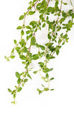 Thyme op witte achtergrond Stock Foto's