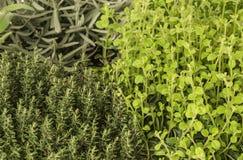 Thyme, Orego, Lavendel Royalty-vrije Stock Fotografie