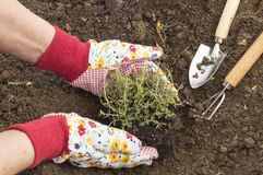 Thyme. A person planting thyme in the field Royalty Free Stock Photos