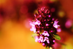 Thyme pink flower macro on color background. Stock Photos