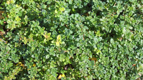 Thyme plant Royalty Free Stock Photo