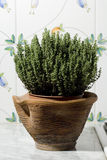 Thyme plant. In a pot over flowers decorated tiles Stock Images