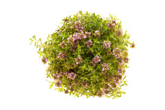 Thyme Plant In Bloom Isolated Royalty Free Stock Photos