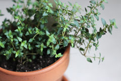 Thyme Plant in Clay Pot Stock Photography