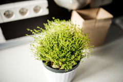 Thyme plant in kitchen Royalty Free Stock Images