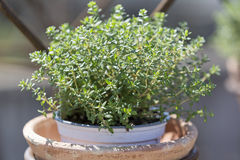 Thyme plant in a pot Royalty Free Stock Photography