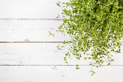 Thyme plant on rustic white table, top view. High angle view of thyme plant on white wooden table with copy space Royalty Free Stock Images