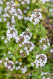 Thyme plant silver queen organic gardening herbal herb in bloom white flowers closeup stock photo