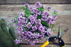 Thyme plant. Gloves and pruner on table, not in focus. Stock Photos
