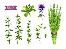 Thyme plant, twigs, flowers and bunch watercolor illustration with clipping paths. Watercolor illustration of fresh Thyme plant with flowers, leaves, twigs and Royalty Free Stock Photo