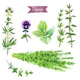Thyme plant, twigs, flowers and bunch watercolor illustration with clipping paths Stock Photography