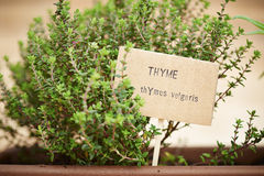 Thyme plant on urban garden Royalty Free Stock Images