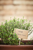 Thyme plant on urban garden Stock Photo