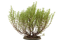 Thyme plant Stock Photography