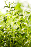 Thyme plants Royalty Free Stock Photography