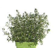 Thyme in pot isolated on white Royalty Free Stock Photos