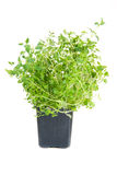 Thyme in a pot Royalty Free Stock Photography