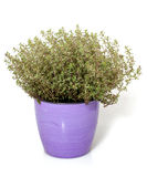 Thyme in pot Royalty Free Stock Photography