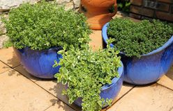 Thyme in pots stock image