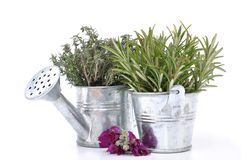 Thyme and rosemary Stock Photography