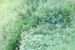 Thyme and Rosemary Herbs Stock Image