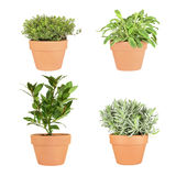 Thyme, Sage, Bay and Lavender Herbs. Herbs of golden thyme, variegated sage, bay and lavender growing in terracotta pots, over white background. Top left to stock image