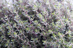 Thyme silver queen herb growing Royalty Free Stock Photos