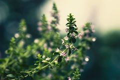 Thyme. Is a small, attractive herb with a plethora of small white, pink, or lilac flowers Royalty Free Stock Photo