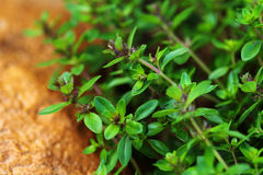 Thyme spice in the garden Stock Photography