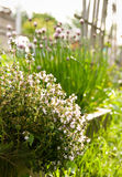 Thyme In Sunny Garden. Thyme herb plant in sunny garden with chive, grass and decorative fence visible in background Royalty Free Stock Photo