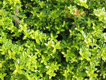 Thyme (Thymus citriodorus) Royalty Free Stock Image