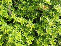 Thyme (Thymus citriodorus) Royalty Free Stock Image