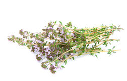 Thyme (Thymus serpillum) Royalty Free Stock Photos