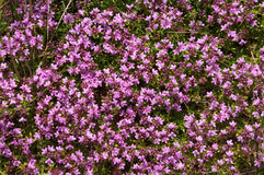Thyme (Thymus vulgaris). Culinar and medical herb Thyme (Thymus vulgaris Royalty Free Stock Image