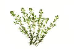 Thyme (Thymus vulgaris). Flowering thyme (Thymus vulgaris) isolated against a white background Stock Photo