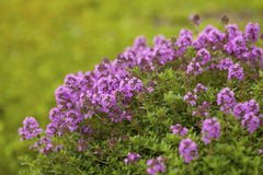 Thyme. Thymus vulgaris blossoming in the garden of herbs Royalty Free Stock Photos