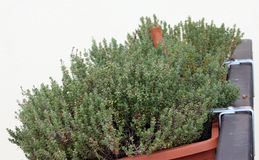 Thyme in to the balcony pot Stock Image