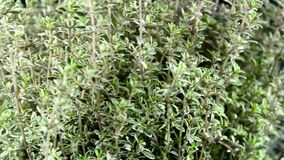 Thyme on a turn table stock footage