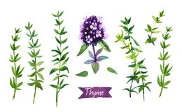 Thyme  twigs and flowers watercolor illustration with clipping paths Stock Images