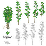 Thyme Twigs  Set. Set of outlined  twigs  of thyme    on white. Bundle of green thyme tied with string Stock Photo
