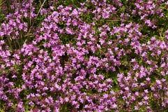 Thyme (vulgaris Zwezerik) Royalty-vrije Stock Afbeelding
