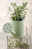 Thyme in a watering can Stock Image
