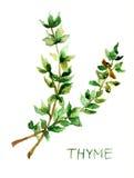 Thyme, waterverfillustratie Stock Foto
