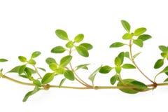 Thyme on white Stock Image