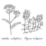Thyme Yarrow Hand drawn sketched  illustration. Doodle graphic Stock Images